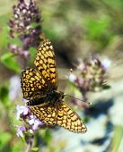 pic of flying-insect  - Butterfly flying over a meadow blooming - JPG