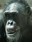 stock photo of chimp  - Alone adult chimp sitting and thinking - JPG
