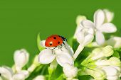 foto of creeping  - the ladybug creeps on white flowers in the spring - JPG