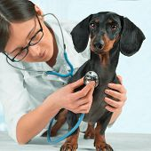 stock photo of hound dog  - Veterinarian listens smooth-haired dachshund dog in a hospital