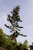 stock photo of taper  - A slanting and tapering christmas tree reaching for sky - JPG