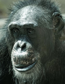 foto of chimp  - Alone adult chimp sitting and thinking - JPG