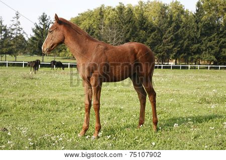 Thoroughbred little foal grazing in pasture summertime 	Thoroughbred little foal grazing in pasture
