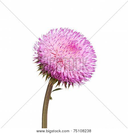 Flower Of A Musk Thistle Isolated On White