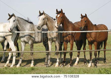 Nice purebred mares looking over corral door