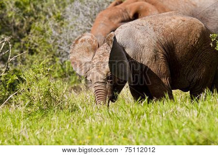 Elephant Ear Movement