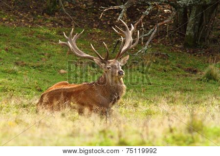 Magnificent Red Deer Stag