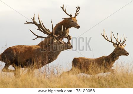 Red Deers On The Run