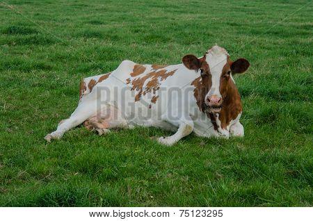 Red Holstein In Grass
