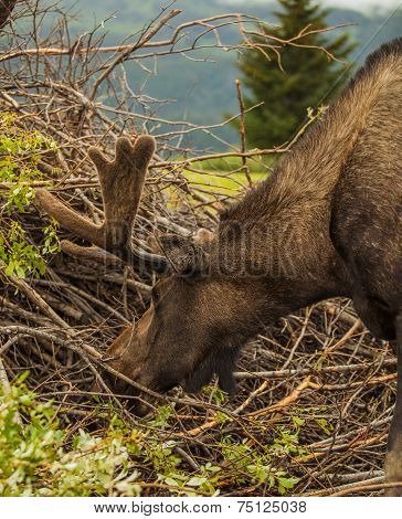Bull Moose Eating