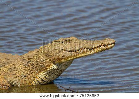 Nile Crocodile On The River Bank