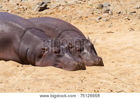 Pair Of Hippos Resting