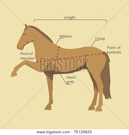 horse with measurement labels
