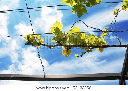 Vine Branch Over Blue Sky