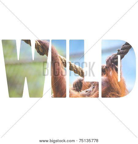 Word Wild Over Orangutan Baby