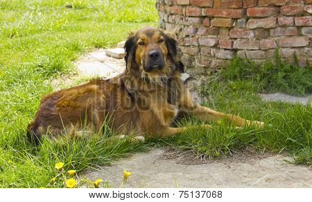Brown Mongrel Brown Dog Resting In The Garden