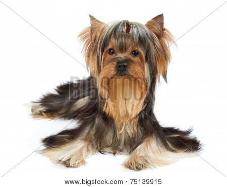 Dog With Funny Bang Of Hair