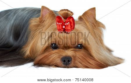 Close-up Of Yorkshire Terrier's Muzzle