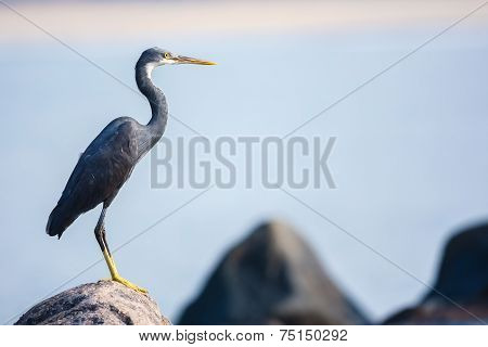 Perching Heron