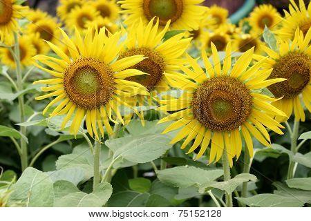 Field Of Sunflowers (helianthus Annuus)