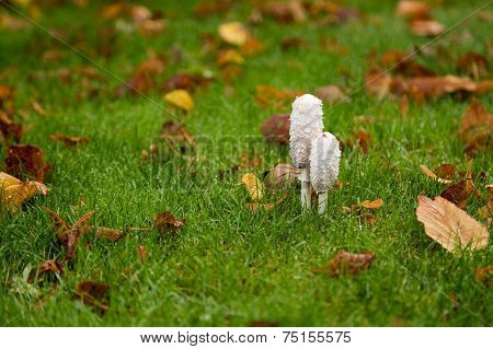 Shaggy Ink Cap Toadstools In Wet Grass