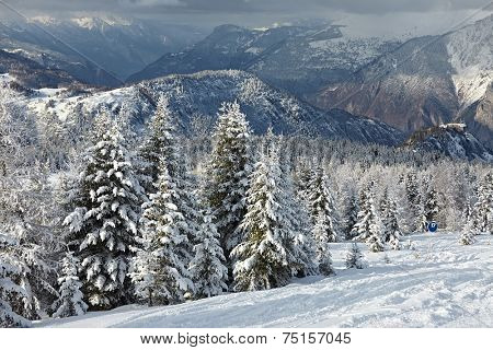 Snowy pine trees on a winter landscape