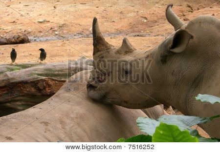 Rhinoceroses (an Armour. Rhinocerotidae) -- Family Not Artiodactyl, Containing Five Kinds, Extended
