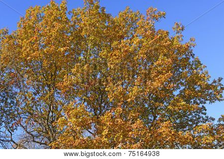 Oak Tree In Falll Color Transition