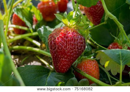 Strawberry Growing On Plant