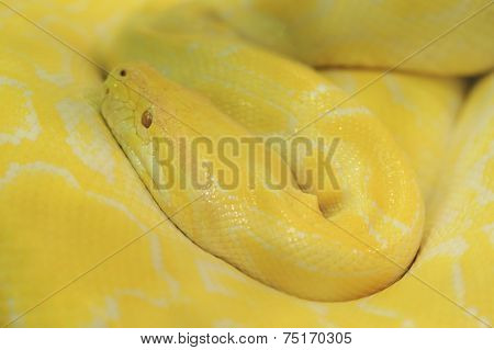 Tiger Albino Python Snake, Yellow Viper