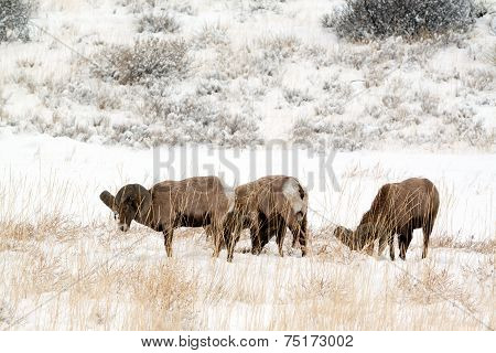 Small herd of bighorn rams