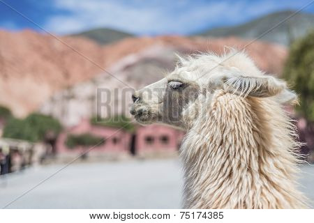 Llama In Purmamarca, Jujuy, Argentina.