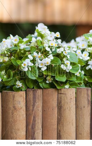 White Begonia Over Bamboo Fence