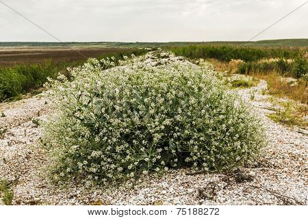 Flowering Bush Tumbleweed On The Shore Of The Dry Lake