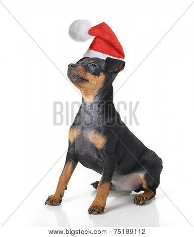 Funny dog in Santa hat