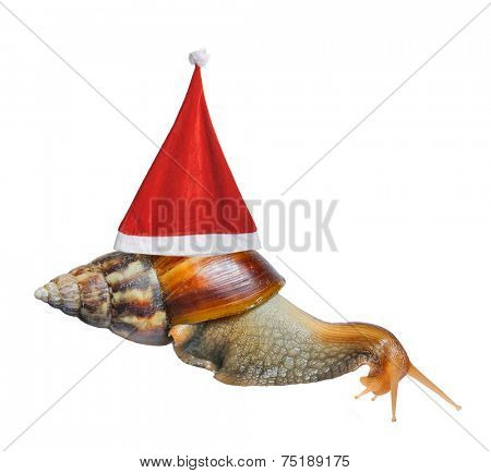 Big snail in Santa hat isolated on white background