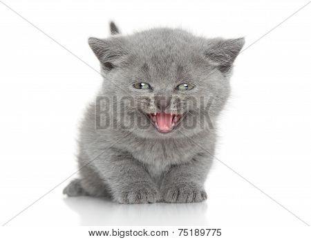 Portrait Of British Shorthair Kitten