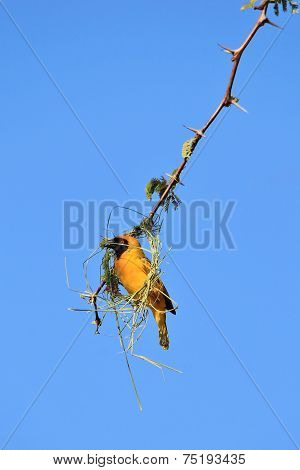 Southern Masked Weaver - African Wild Bird Background - Colorful Nature