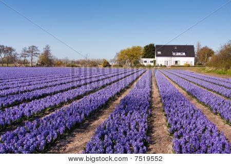 Field Of Violet Flowers - Hyacint