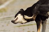 stock photo of flea  - feral dog scratching for ticks and fleas - JPG