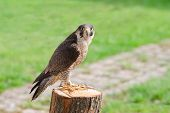 image of tame  - Tamed and trained for hunting fastest bird predator falcon or hawk perched on stump and staring into the camera lens - JPG