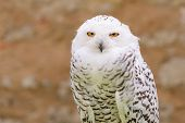 stock photo of owl eyes  - Portrait of wild silent raptor bird white snowy owl gazing at the camera lens with yellow eyes - JPG