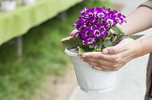 stock photo of pot-bellied  - Hand holding up spring daisy flower  - JPG
