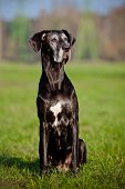 stock photo of great dane  - giant black great dane dog outdoors in summer