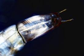 image of gnat  - Micro photo - JPG
