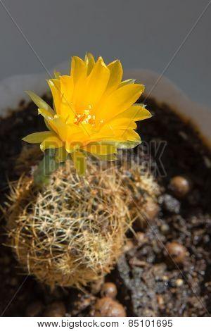 Cactus Lobivia arachnacantha. Yellow flower.