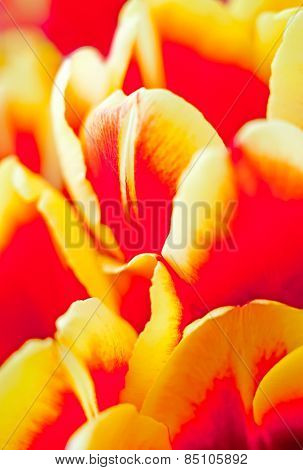 Spring yellow red tulips background. Low focus depth of field