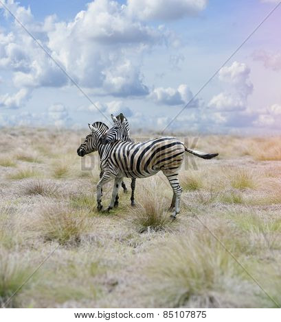 Two Zebras In The Savannah