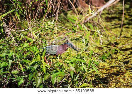 Green Heron,Everglades National Park, Florida