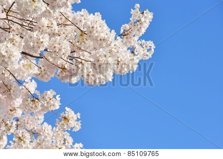 Cherry blossoms with clear blue sky background